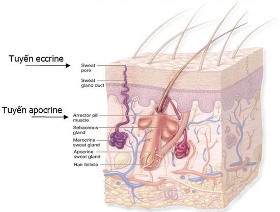 Từ A- Z về: Bệnh hôi nách và cách chữa trị hôi nách hiệu quả